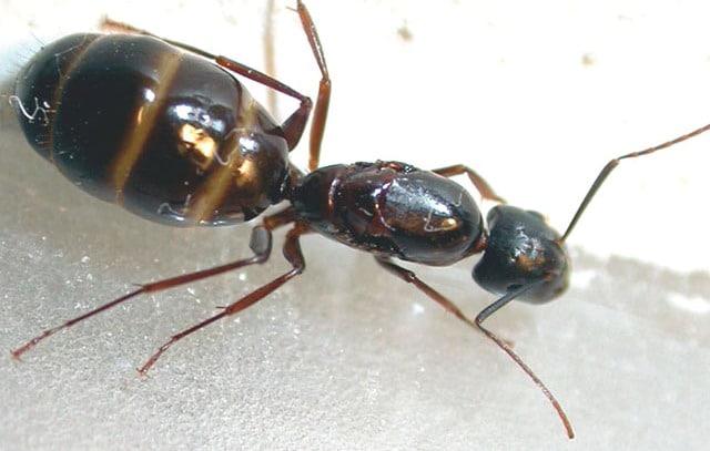 extermination de fourmis charpenti res montr al et environs. Black Bedroom Furniture Sets. Home Design Ideas
