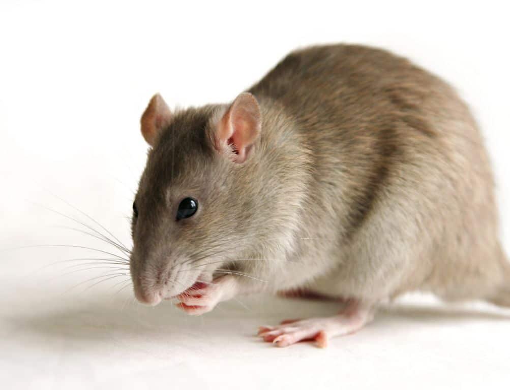 rat à montréal