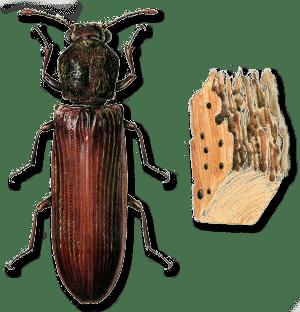 Extermination de la lycte - Parasites du bois maison ...