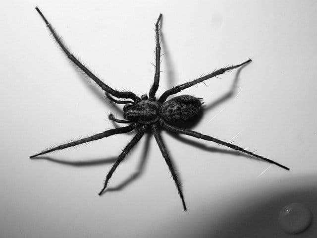 Extermination des araign es et veuves noires montr al for Araigne sauteuse maison