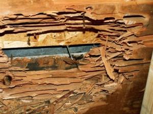 bois grugé par fourmis charpentière