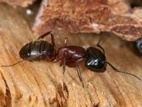 fourmis charpentière sur bois