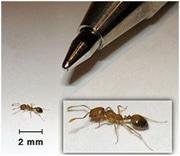 fourmis pharaon et crayon