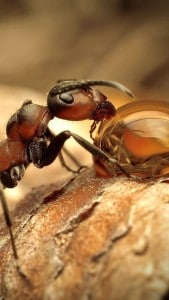 ants that drinks