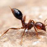 fourmis de feu
