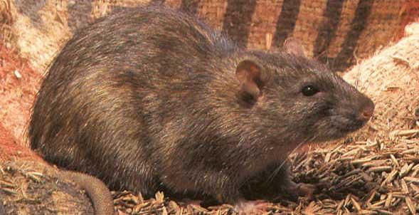 rat d'égout ou de Norvège