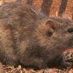 Le rat de norvège ou rat d'egoût
