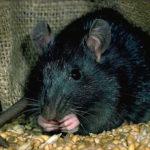 Comment se débarrasser d'une intrusion de rats noirs à Montréal?