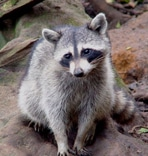 female raccoon raccoon