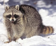 racoon in the snow