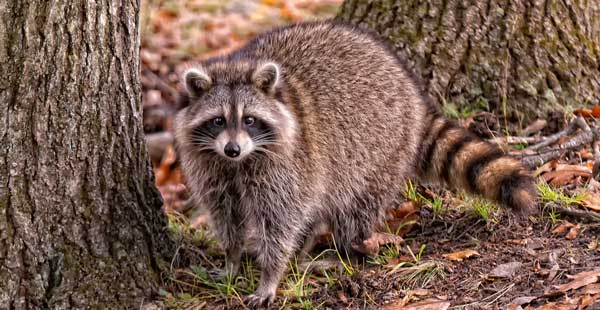 Intrusion Capture Ratons Laveurs Que Faire on Animal Classification