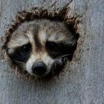 raton-laveur dans un trou d'arbre