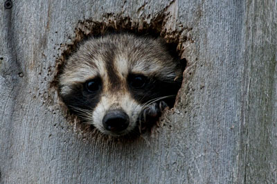 raccoon in a tree hole