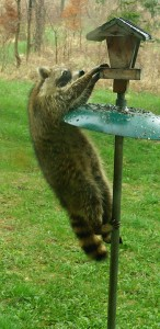 Raccoon-washer looking for bird-
