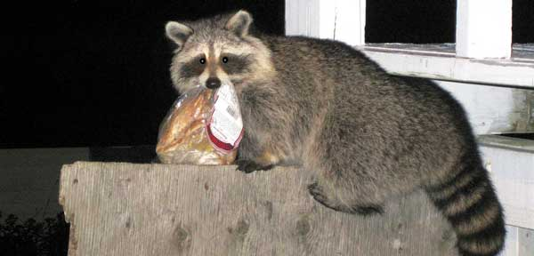 raccoon flies in campsite