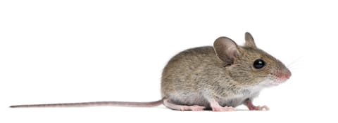 long-tailed mouse