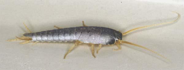 Le l pisme argent est un insecte nuisible qui rampe dans - Moucheron dans la maison ...