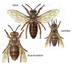 abeille-essaim