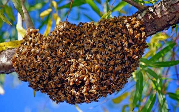 essaim d'abeille sur branche