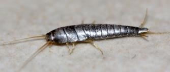 le l pisme argent est un insecte nuisible qui rampe dans les salles de bains. Black Bedroom Furniture Sets. Home Design Ideas