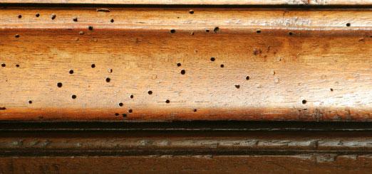 Exterminer le lycte brun d voreur du bois extermination for Insecte bois meuble