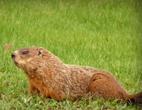 marmotte brune