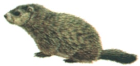 marmotte male