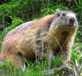 grosse marmotte