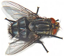 small house fly