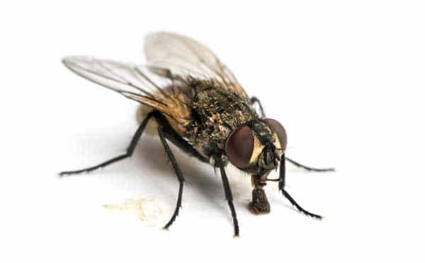 La mouche domestique est commune dans nos maisons l t - Invasion de mouches pourquoi ...
