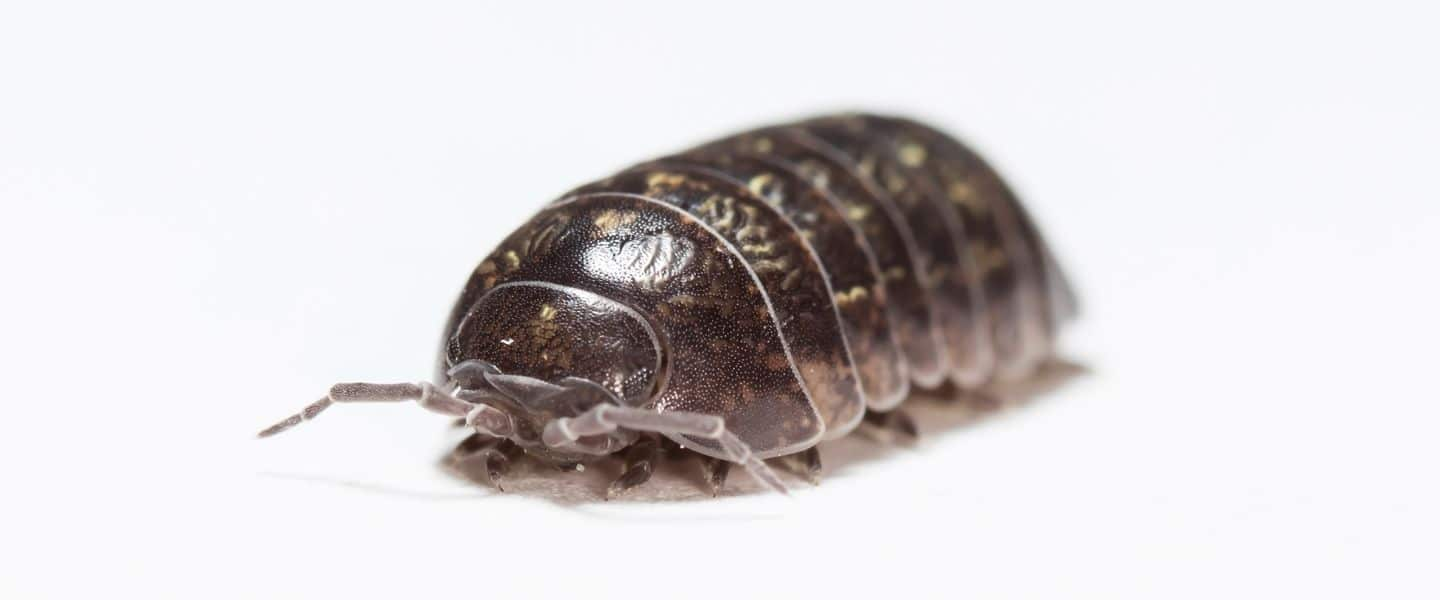 close view of a woodlice - insect in moisture